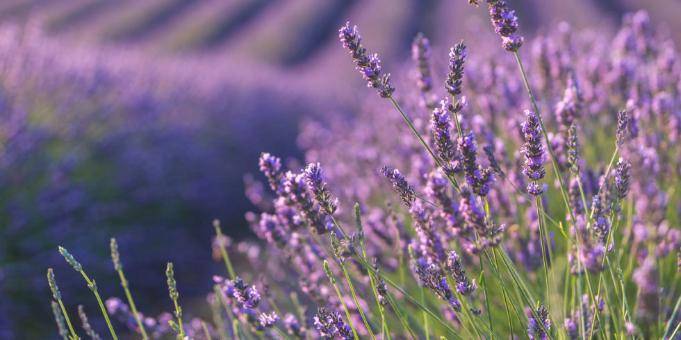 Lavender Facts What To Know About Lavender