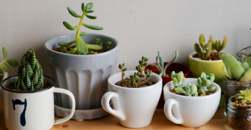 succulents-in-mugs