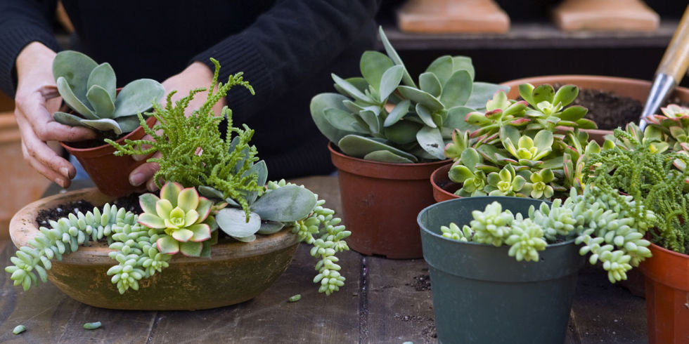 succulents-potted