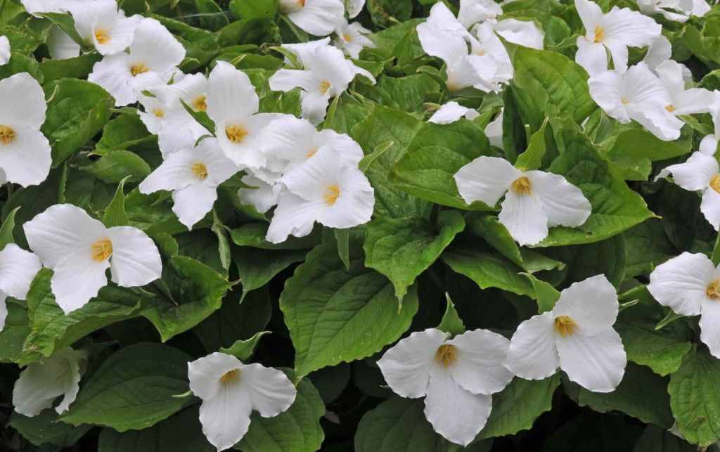 tropical-plants-trillium-grandiflorum