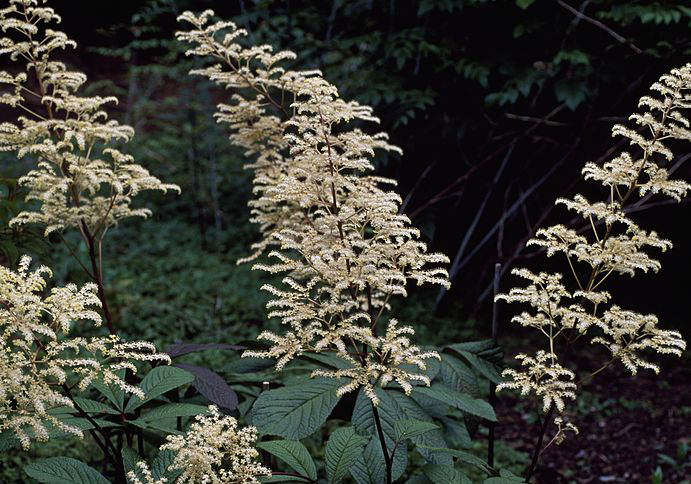 tropical-plants-rodgersia-pinnata