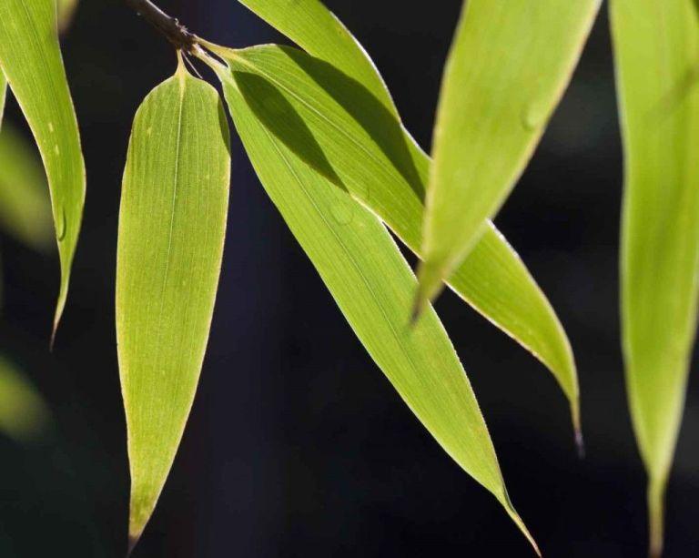 Uk Tropical Plants Part - 46: Tropical-plants-black-bamboo