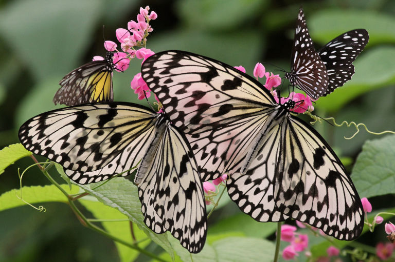 Pretty Butterflies Attracted To Nectar Producing Plants In A Garden