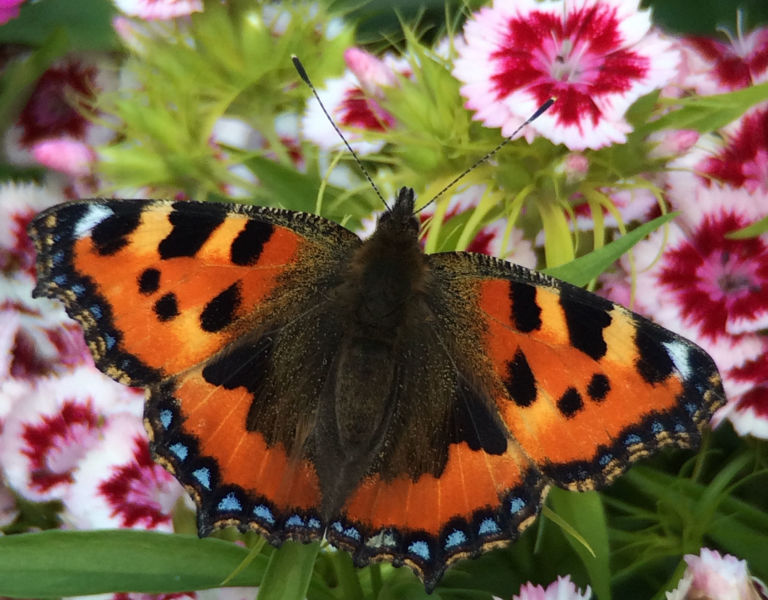 Close Up Of Butterfly On Dianthus Flowers