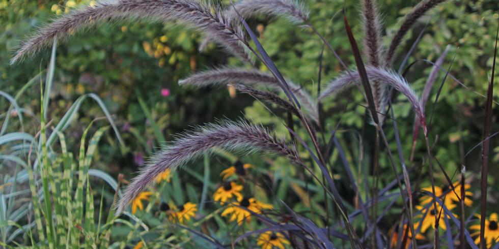Adam Pasco Media_Ornamental rumput - Pennisetum setaceum musim panas Samba.  Tanaman Hortikultura Trades Asosiasi Moment untuk Agustus.