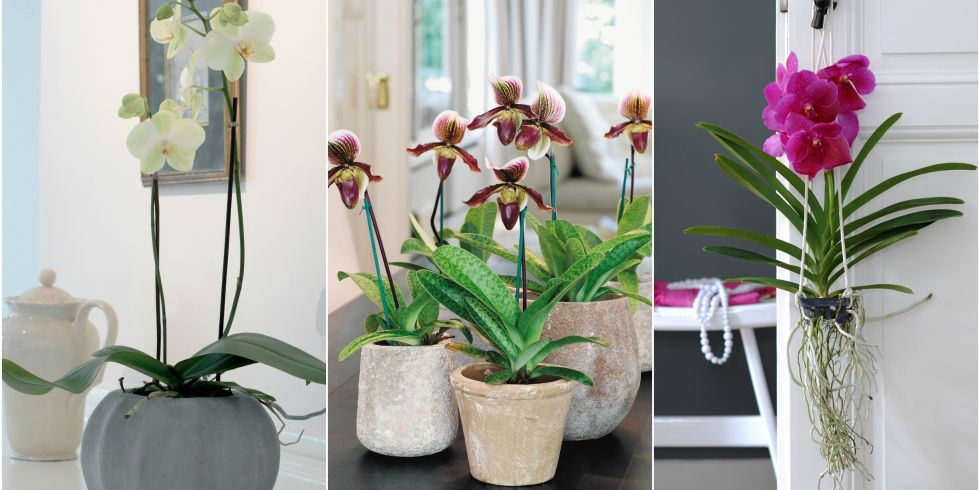 Three different types of orchid: (left-right): Phalaenopsis, Paphiopedilum and Vanda.