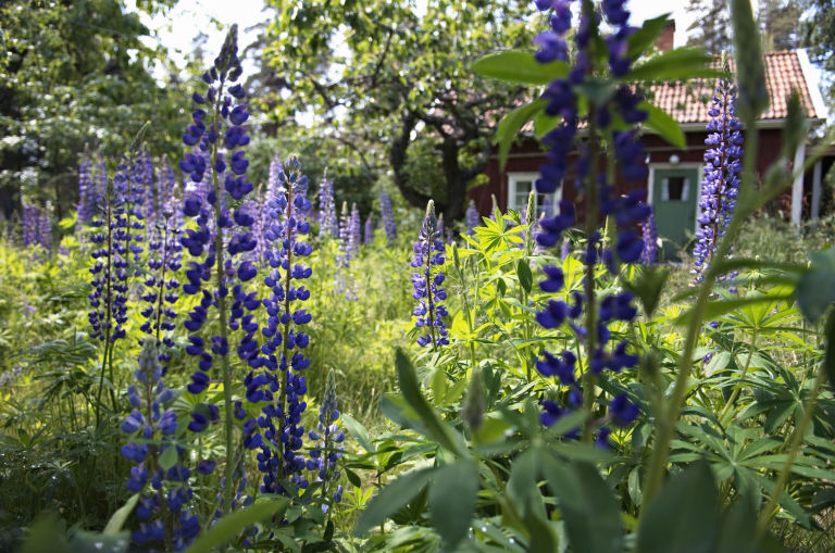 Lupin Plants In A Cottage Garden