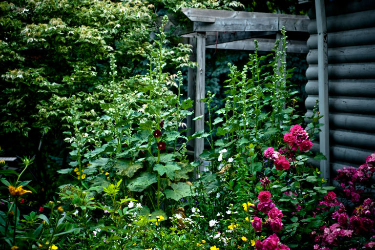 Hollyhocks 10 Feet Tall Climbing Roses And Other Perennial Flowers In A Blooming English Summer