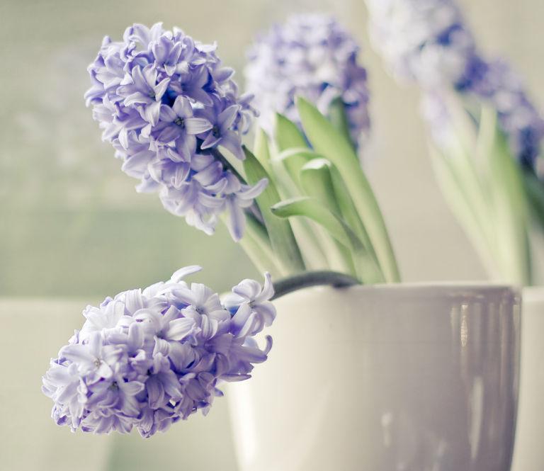purple hyacinth flowers in soft grey pot