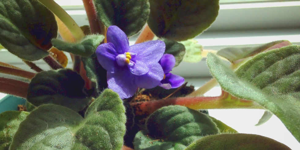 African Violets Blooming In Potted Plant On Window Sill