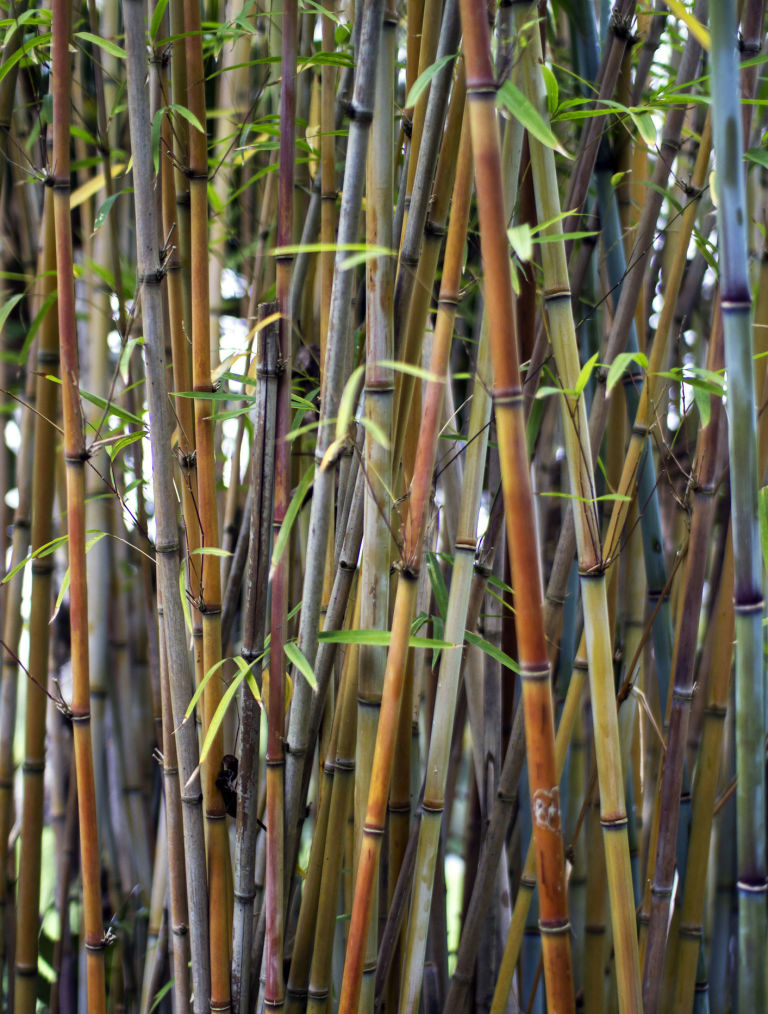 bamboo in garden - Growing Bamboo