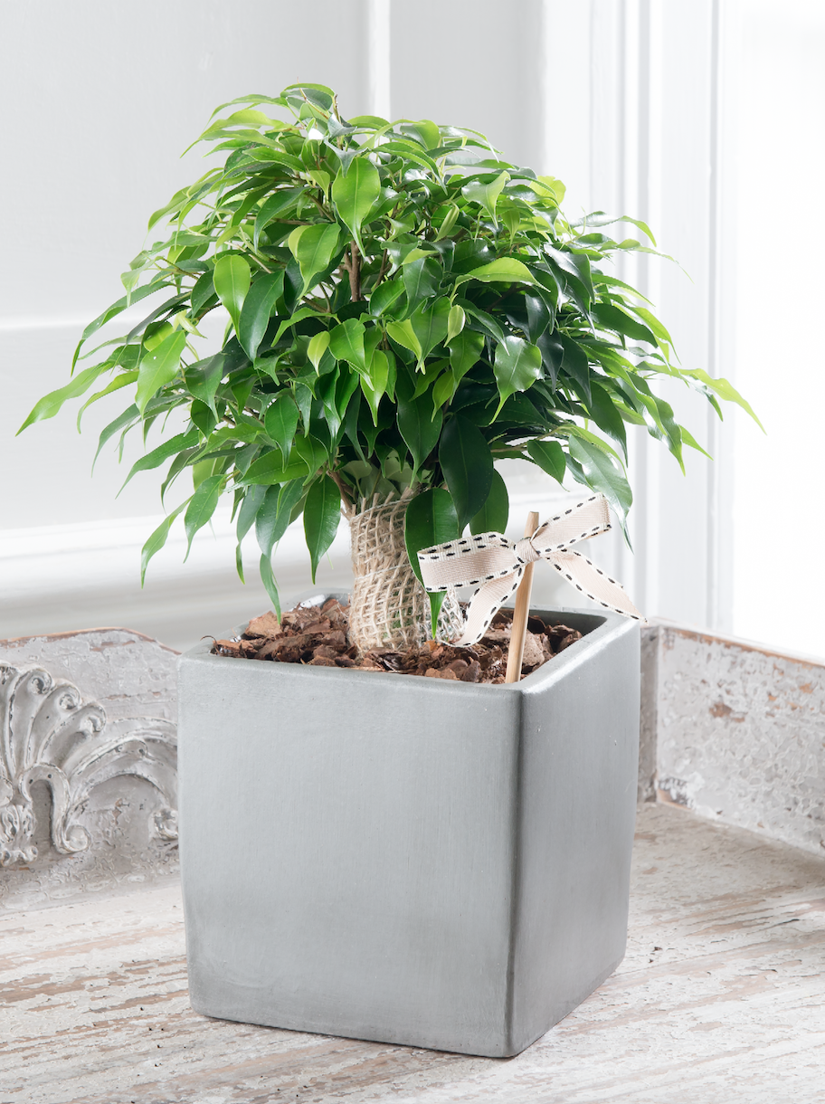 Stylish potted plants from the house beautiful collection at flowers direct - Beautiful house plants ...