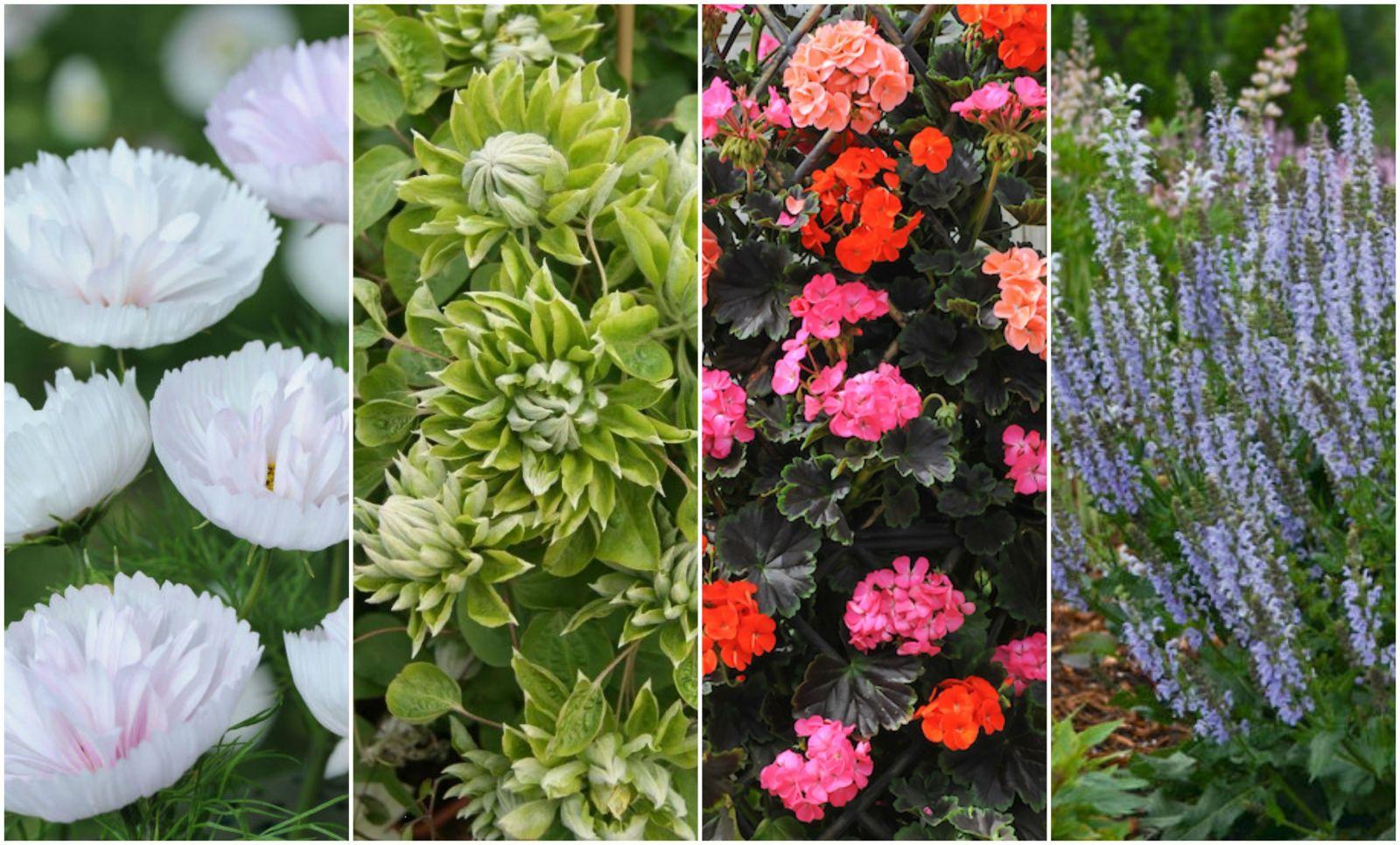 Chelsea flower show new plants
