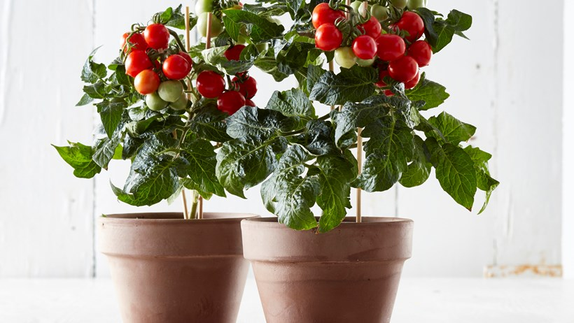 Tesco Sell Bargain 4 Indoor Tomato Plant That Produces