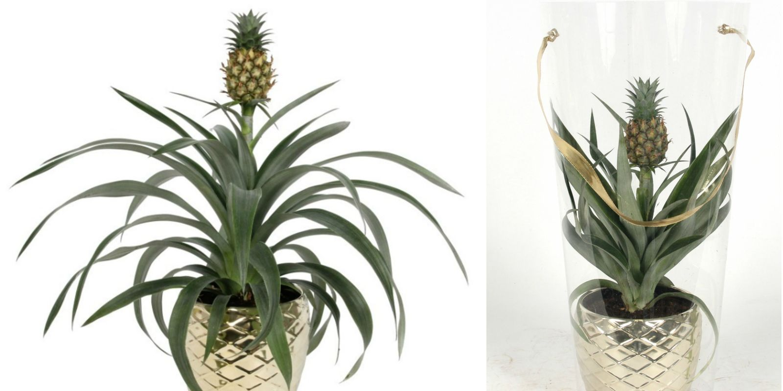 Asda Is Now Selling Pineapple Plants For 163 12 Asda Plants